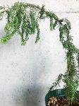画像3: ジュニペルス リギダ (=ネズ) 雲龍 枝垂れ (4号) (3)