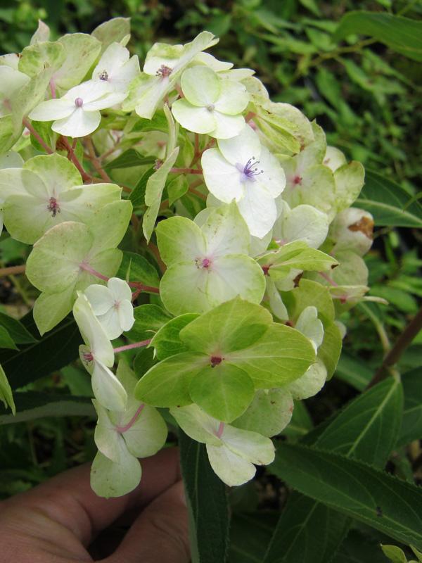 画像1: ハイドランジア アスペラ テマリ咲き (1)