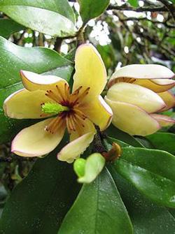 画像1: ミケリア フィゴ (=カラタネオガタマ) 四季咲き性 (1)