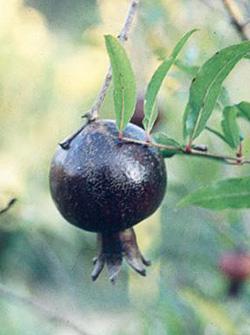 画像1: プニカ エイトボール (1)